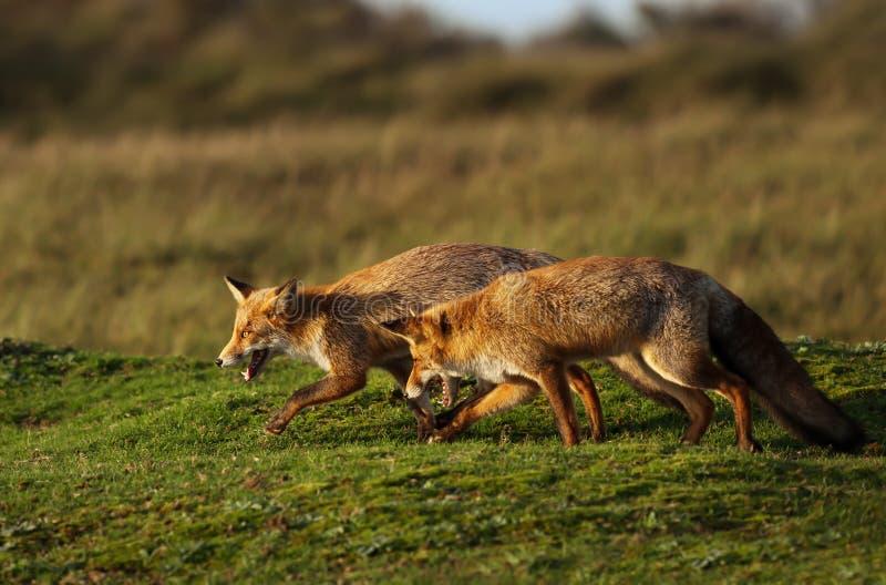 Rote Füchse, die auf dem Gebiet sich jagen stockbild