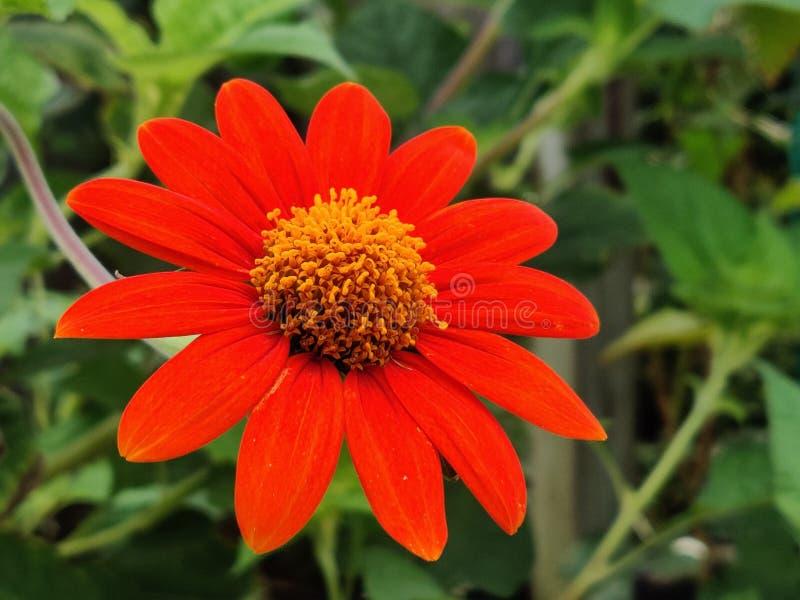 Rote Fackel-mexikanische Sonnenblume lizenzfreies stockbild
