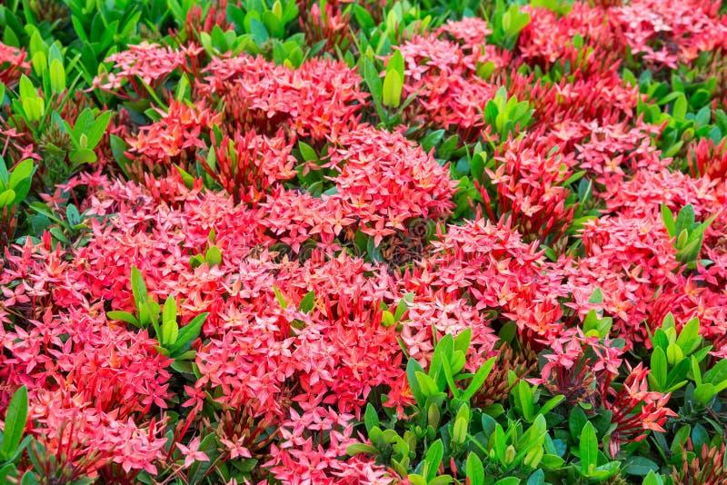Rote Farbbluetenspitze stockfoto