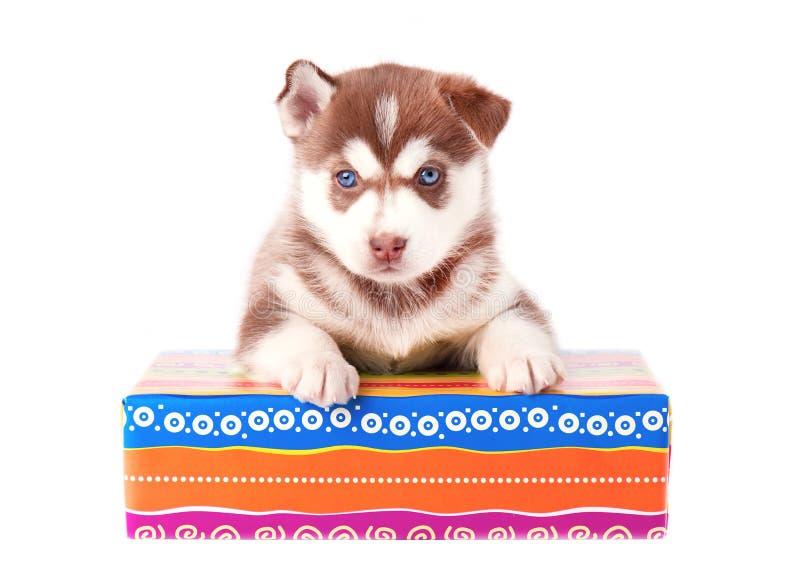 Rote Farbe des kleinen Welpensibirischen huskys auf einem farbigen Geschenkboxweißhintergrund lizenzfreie stockfotografie