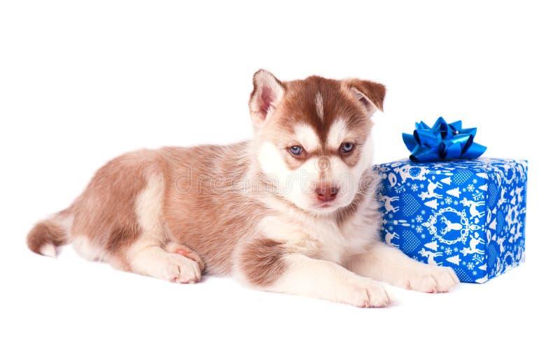 Rote Farbe des kleinen Welpensibirischen huskys auf einer farbigen Geschenkbox lokalisierte weißen Hintergrund stockbilder