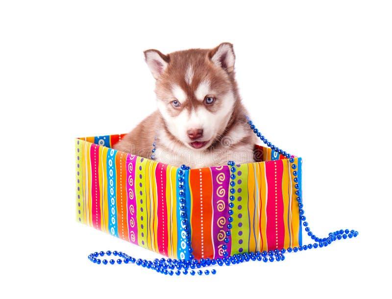 Rote Farbe des kleinen Welpensibirischen huskys auf einer farbigen Geschenkbox lokalisierte weißen Hintergrund stockbild