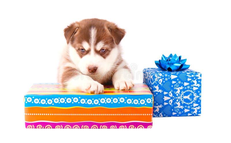 Rote Farbe des kleinen Welpensibirischen huskys auf einer farbigen Geschenkbox lokalisierte weißen Hintergrund lizenzfreies stockfoto