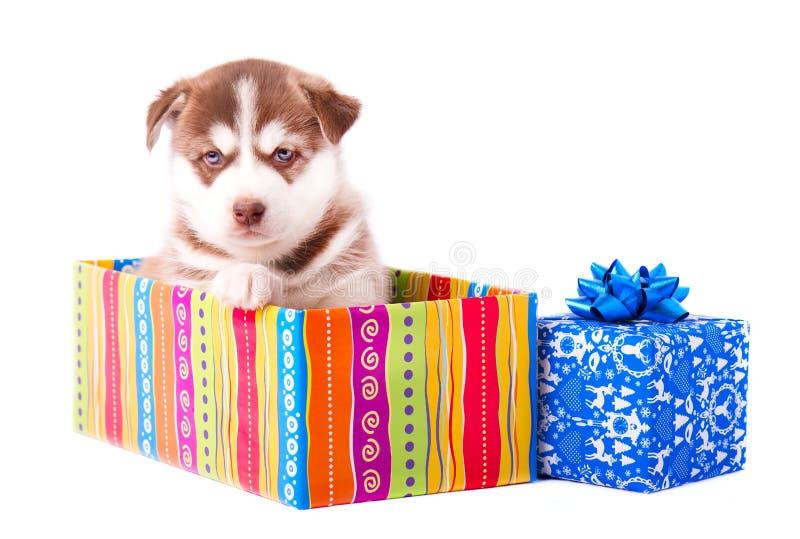 Rote Farbe des kleinen Welpensibirischen huskys auf einer farbigen Geschenkbox lokalisierte weißen Hintergrund stockfotos