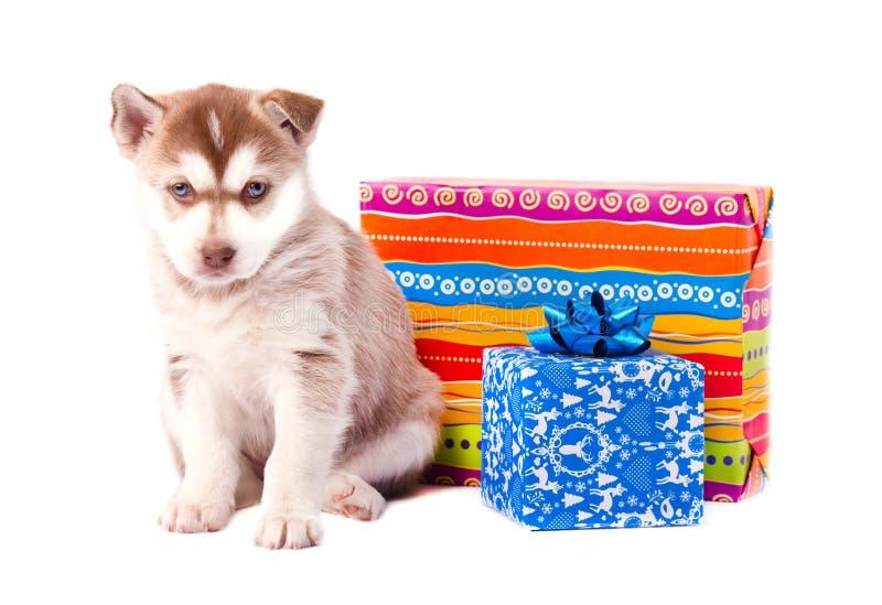 Rote Farbe des kleinen Welpensibirischen huskys auf einer farbigen Geschenkbox lokalisierte weißen Hintergrund lizenzfreie stockfotos