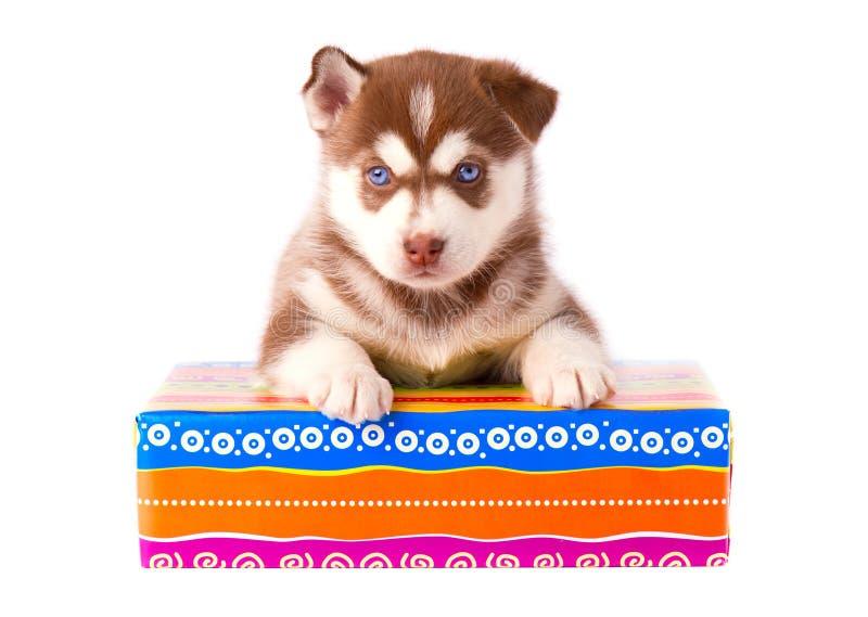 Rote Farbe des kleinen Welpensibirischen huskys auf einer farbigen Geschenkbox lokalisierte weißen Hintergrund stockfotografie