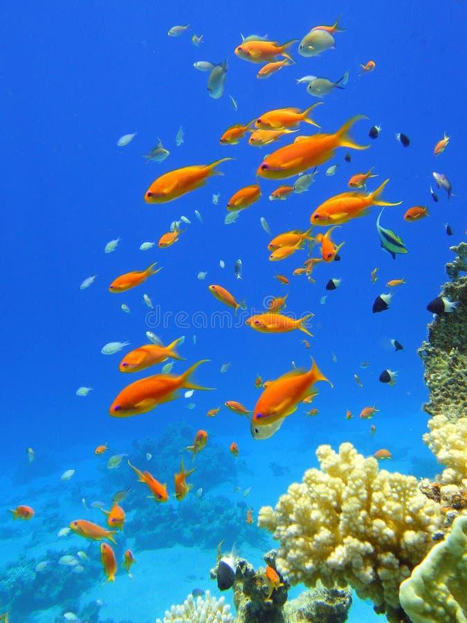 Rote Fische im Roten Meer stockfotografie