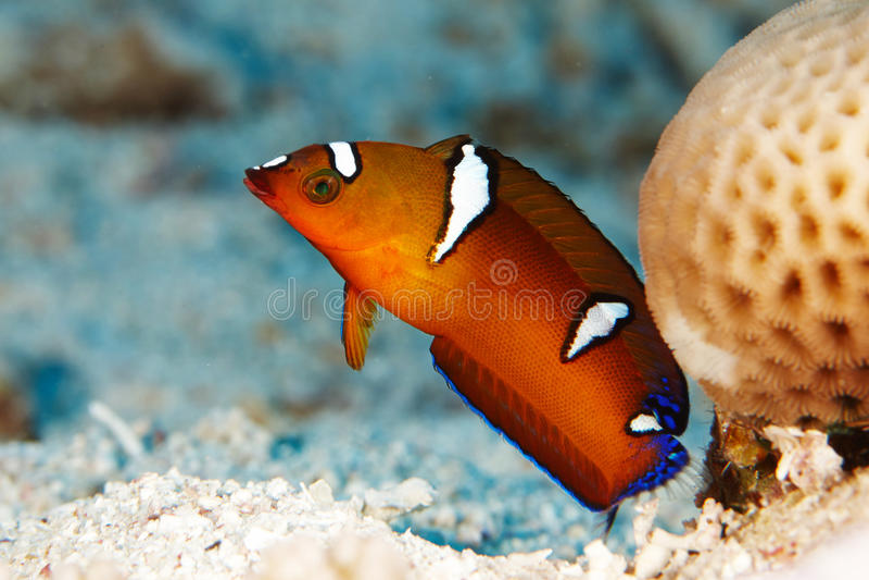 Rote Fische nähern sich Koralle lizenzfreies stockfoto