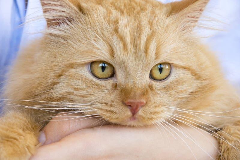 Rote flaumige Katzenmündung auf den Händen des Meisters am Tisch stockbild