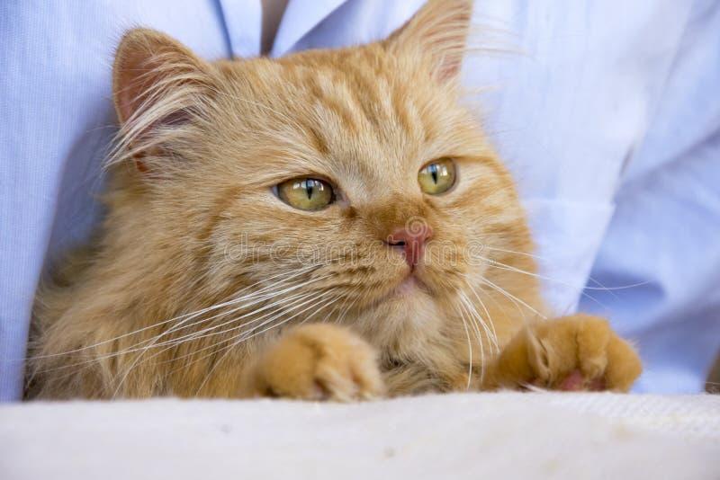 Rote flaumige Katzenmündung auf den Händen des Meisters am Tisch stockfotografie