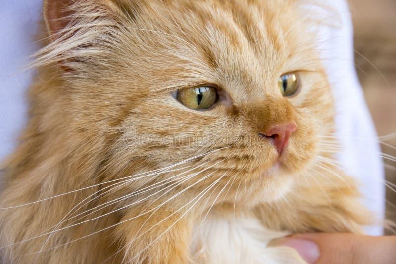 Rote flaumige Katzenmündung auf den Händen des Meisters am Tisch stockfotos