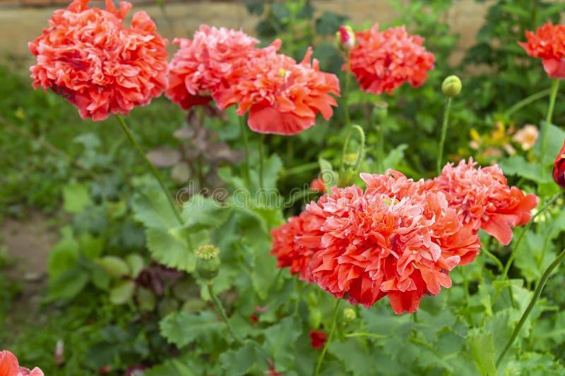 Rote flowerses der Mohnblume auf grünem Blatt des Hintergrundes stockbild