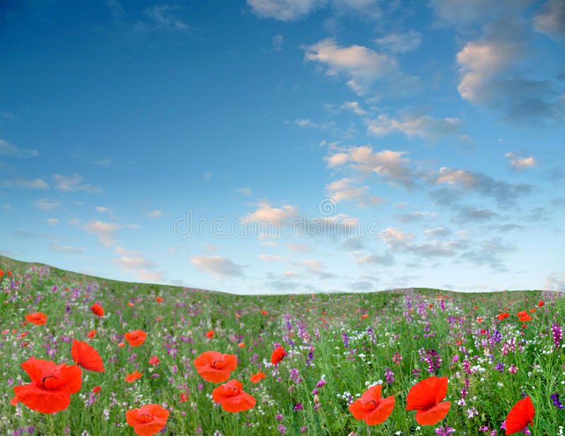 Rote flowerses wachsen auf grünem Feld stockfotografie