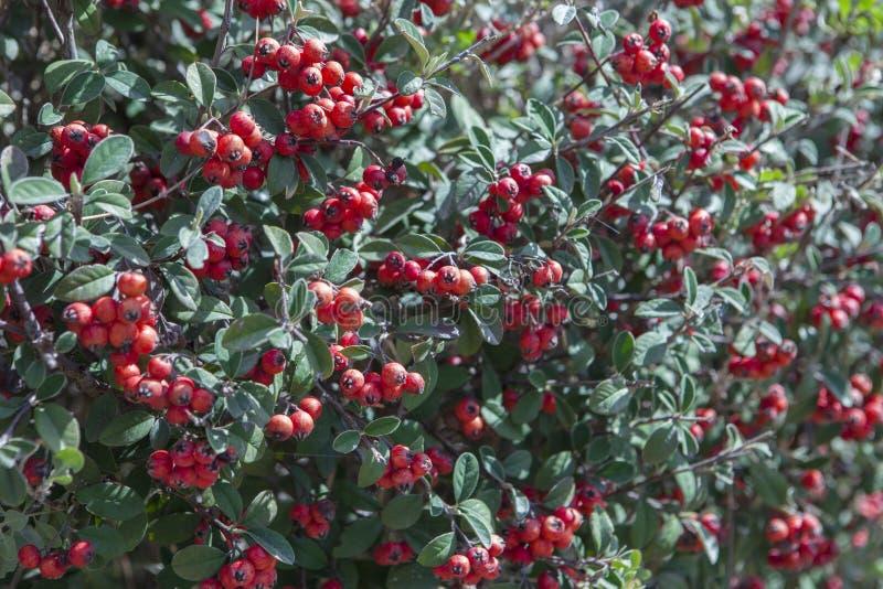 Rote Früchte des Cotoneaster im Garten lizenzfreie stockfotos