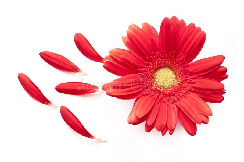 Rote Gänseblümchenblume mit einigen Blumenblättern weg auf Weiß lizenzfreies stockbild