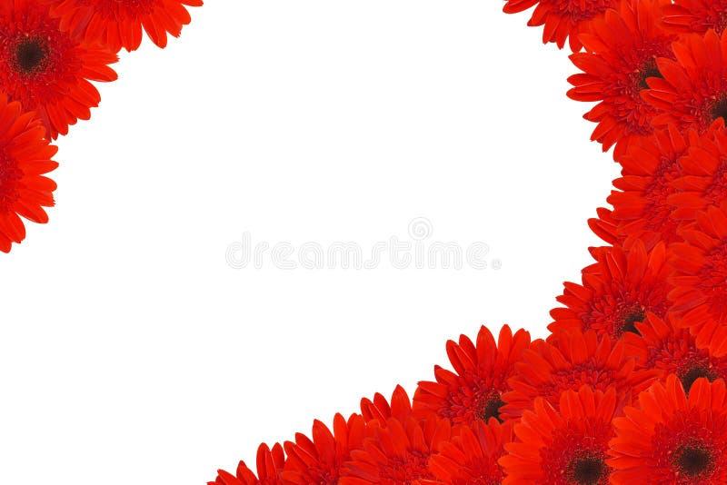 Rote Gänseblümchenblumen stockbild