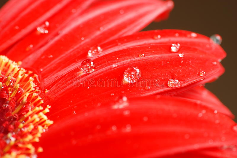 Rote Gänseblümchenblumenblumenblätter Makro lizenzfreie stockbilder