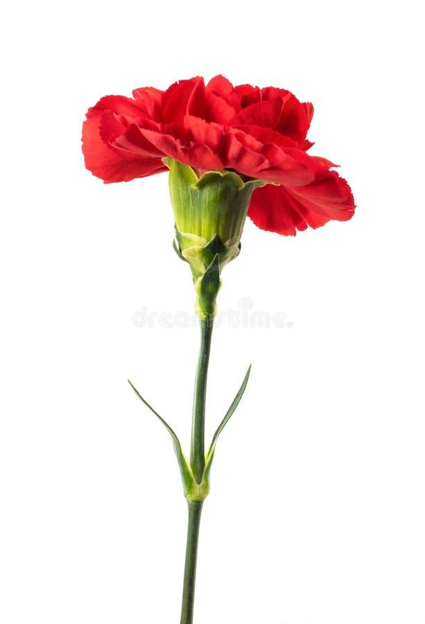 Rote Gartennelke stockbild