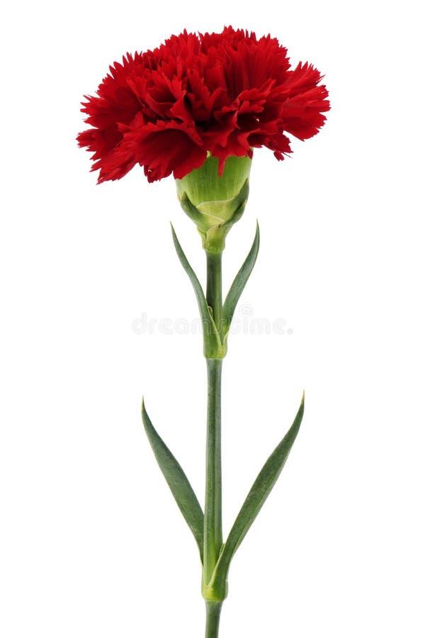 Rote Gartennelke lizenzfreie stockfotos