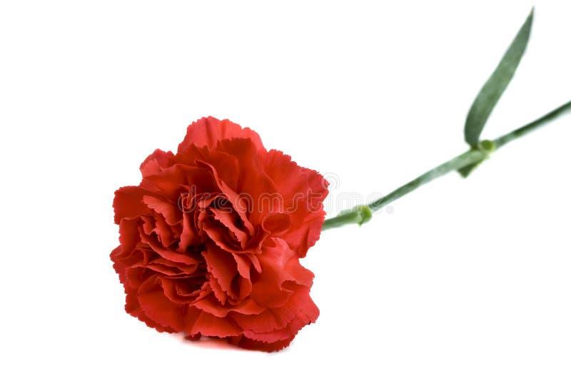 Rote Gartennelke auf weißem Hintergrund lizenzfreies stockfoto