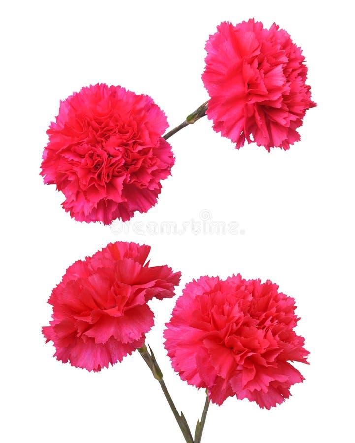 Rote Gartennelkenblumen stockfoto