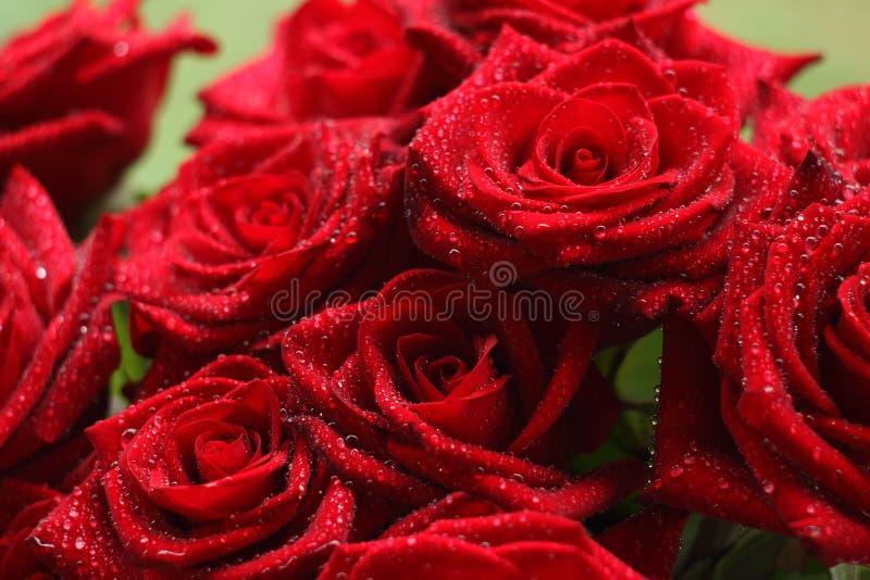 Rote Gartenrosen lizenzfreies stockbild
