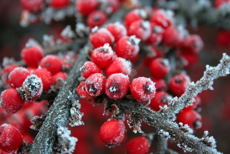Rote gefrorene Beeren stockbilder