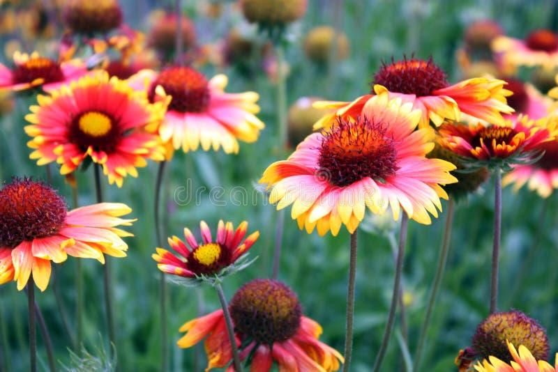 Rote gelbe Blumen lizenzfreie stockfotos