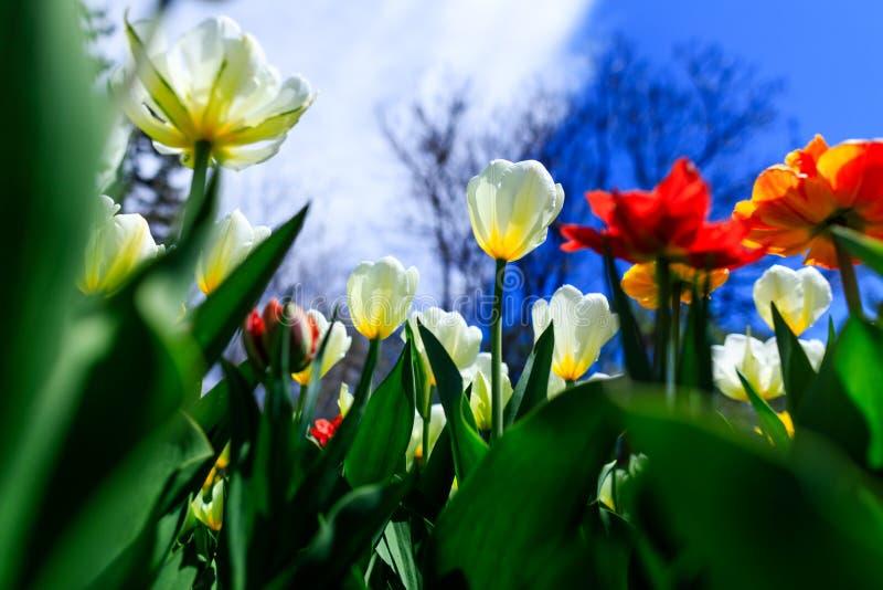 Rote, gelbe, orange, rote und weiße Tulpen Überraschens, blühend in einem Garten Bunte Blumen an einem hellen Frühlingstag mit Lo lizenzfreie stockfotografie