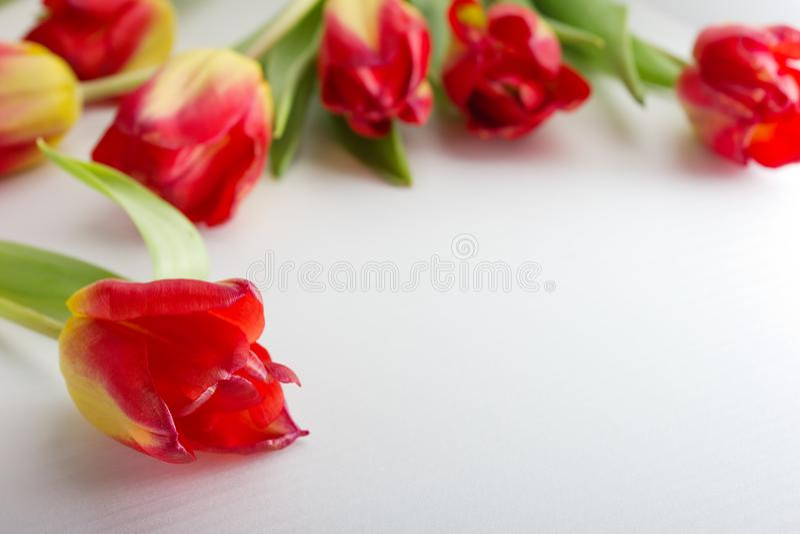 Rote gelbe Tulpen auf weißem hölzernem Hintergrund lizenzfreie stockfotos