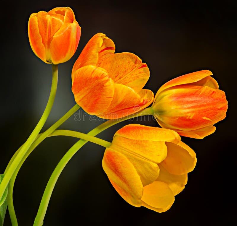 Rote, gelbe und orange Tulpen blüht, Blumengesteck, Abschluss oben, schwarzer Hintergrund stockbilder