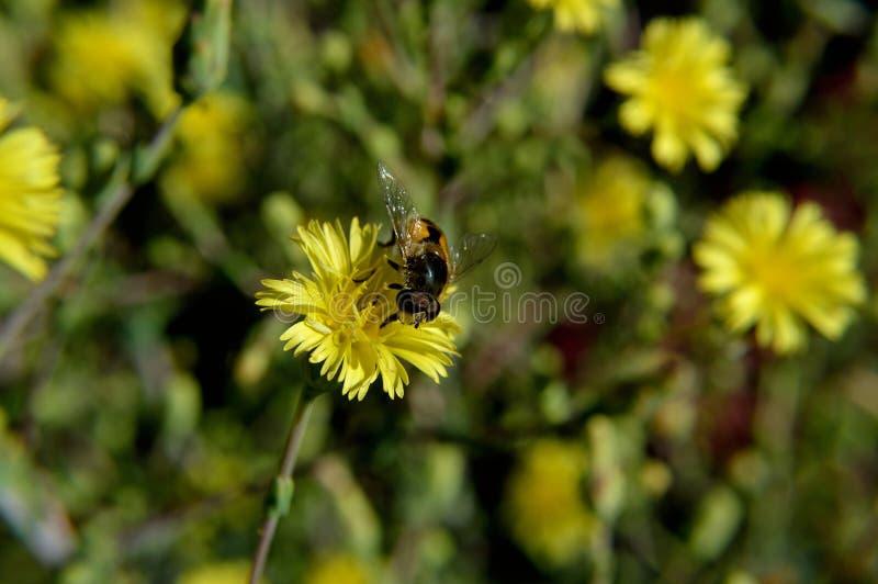 Rote gelockte Kopfsalat-Blüte mit Biene stockbilder