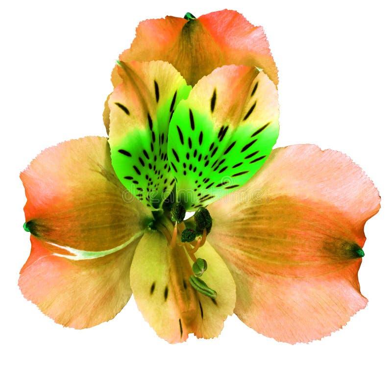Rote grüne Orchideenblume des Gartens lokalisiert auf weißem Hintergrund Nahaufnahme Makro Element der Auslegung stockfotos