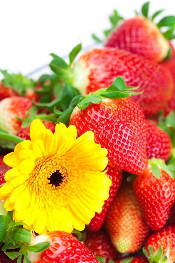 Rote große saftige reife Erdbeeren und Blume stockfotografie