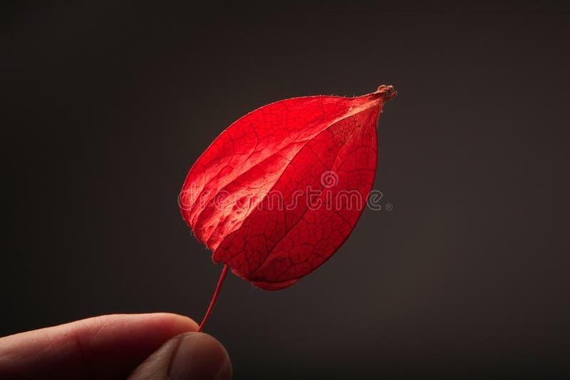 Rote Hülse von Physalis, stockfotografie