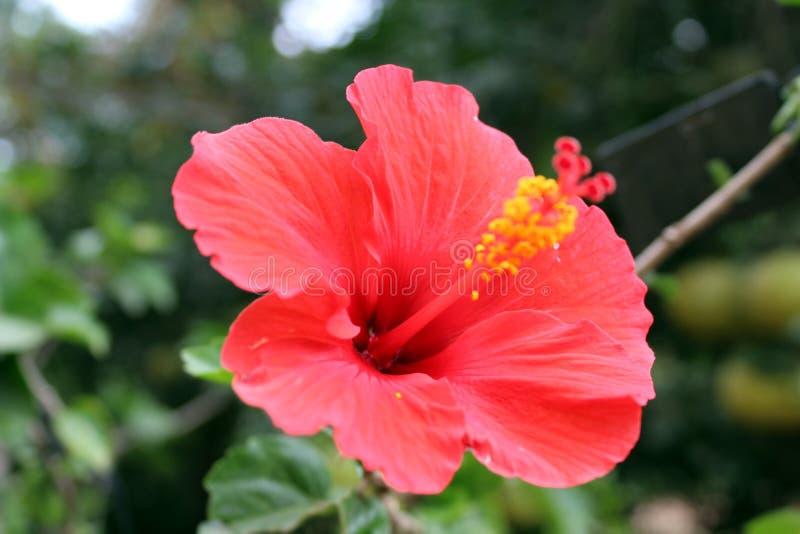 Rote hebiscous Blume lizenzfreie stockfotos