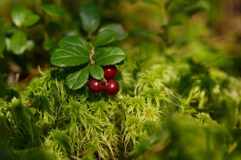 Rote Heidelbeere im grünen Moos lizenzfreies stockfoto