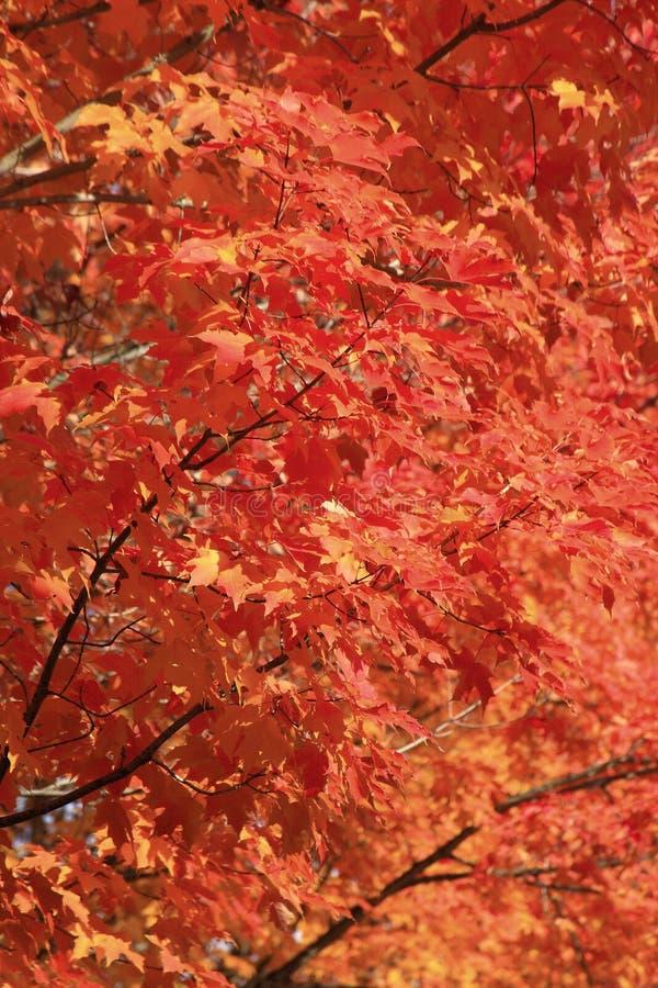 Rote helle Blätter Fallfarben stockfotos