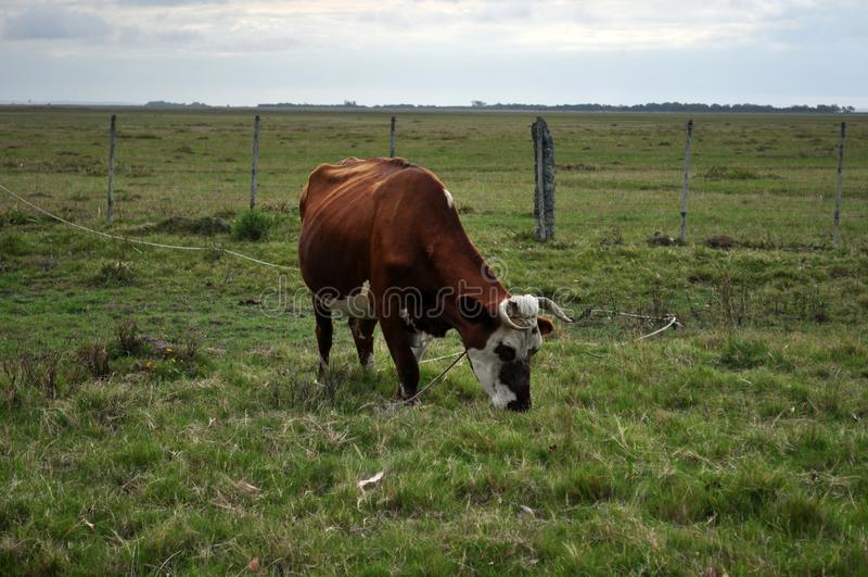 Rote Hereford-Kreuz-Kuh in einer Weide in Valizas, Rocha, Uruguay stockbilder