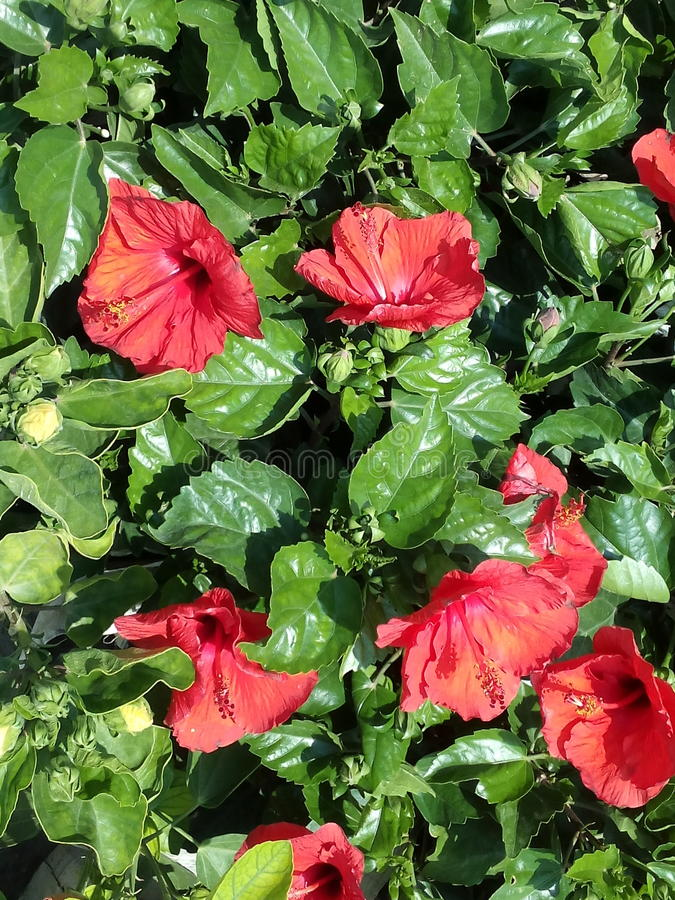 Rote Hibiscusâ€-‹Blumen stockfoto