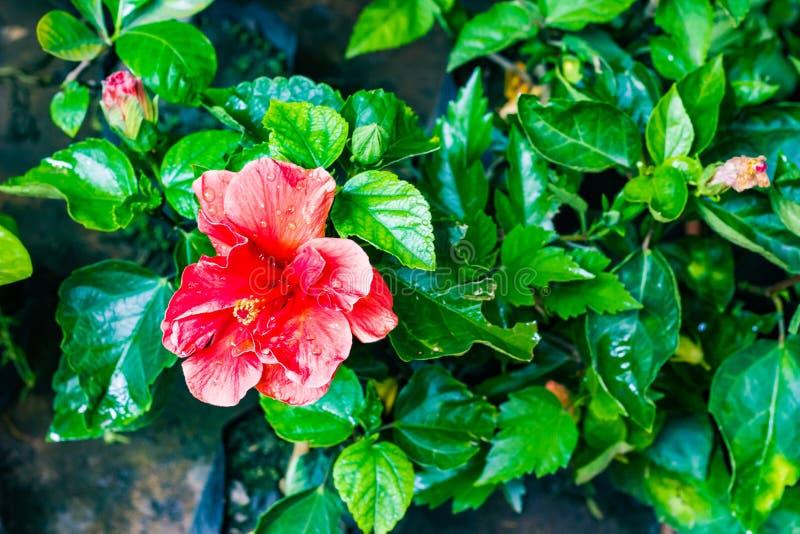 Rote Hibiscus jaba Blume mit jaba verlässt im Garten stockfotografie