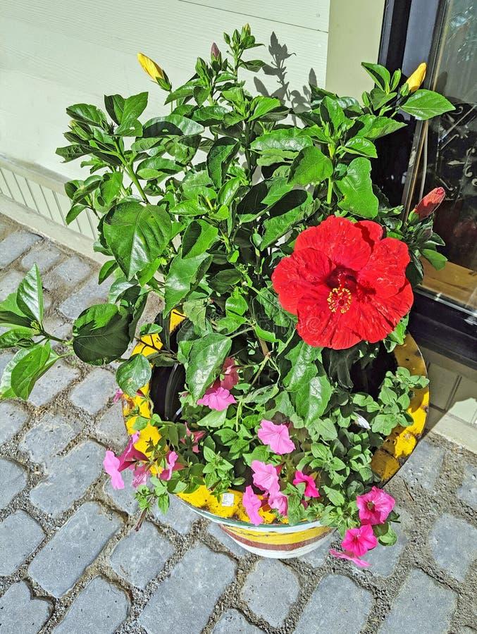 Rote Hibiscusanlage im Blumentopf auf Steinpatio stockfotografie