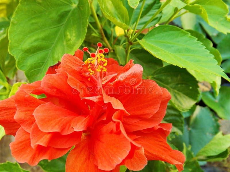 Rote Hibiscusblume des Gartens lizenzfreie stockbilder