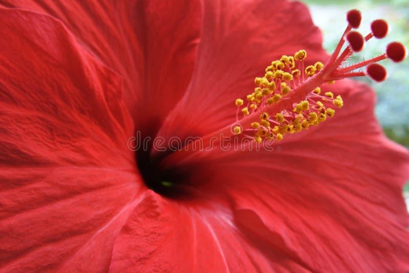 Rote Hibiscusblume mit den gelben Staubgefässen - Makro stockbild