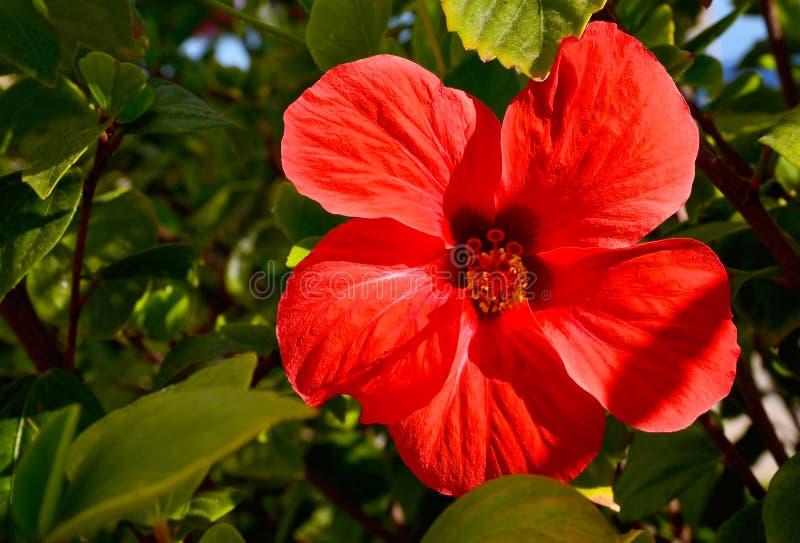 Rote Hibiscuse blühen in einem tropischen Garten von Teneriffa, Kanarische Inseln, Spanien stockbild