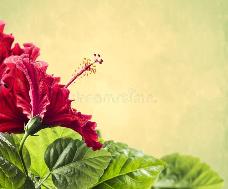 Rote Hibiscuse blühen mit Blättern auf gelbem Hintergrund lizenzfreies stockbild