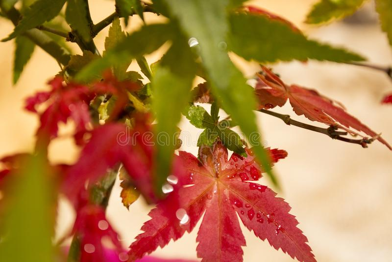 Rote japanische Ahornblätter stockfotos