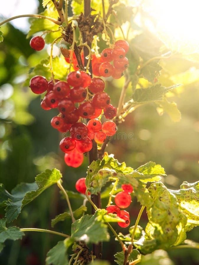 Rote Johannisbeerbeeren auf der Niederlassung Ripenning Ernte des Sommergartens stockbild
