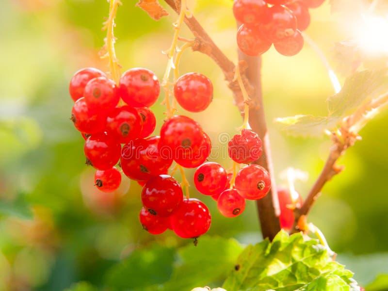 Rote Johannisbeerbeeren auf der Niederlassung Ripenning Ernte des Sommergartens stockfotografie