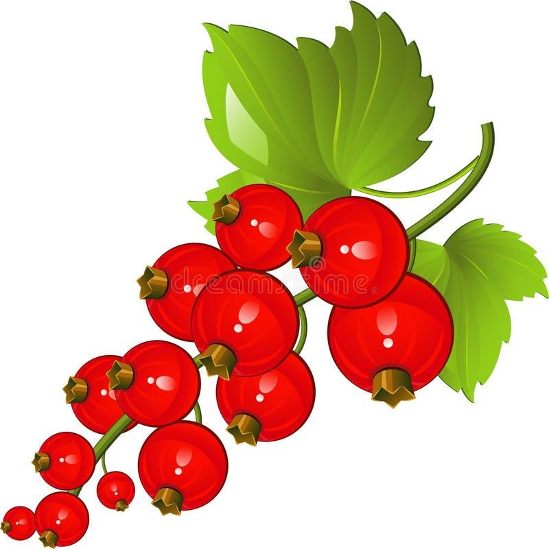 Rote Johannisbeere vektor abbildung